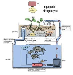 AquaponicNitrogenCycle_web-copy-2